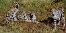 Le guépard fait partie des espèces menacées par les activités agricoles.