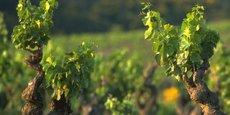 Sept cépages, à ce jour, représentent 70 % du vignoble régional.