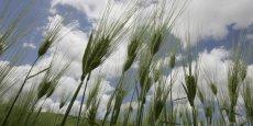 Tiges de blé dans une ferme près de Sétif, en Algérie, dont 70% des besoins alimentaires sont importés.