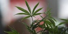 La vente du cannabis en pharmacie intervient plus de trois ans après l'adoption de la loi sur la légalisation du cannabis en Uruguay.