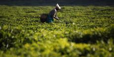 En Afrique de l'Est, 65% des agriculteurs subviennent à leurs besoins à partir de cultures vivrières.
