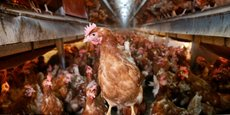 Douze pays sont déjà affectés par cette contamination de millions d'œufs dans l'Union européenne.