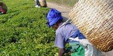 Une plantation de thé sur les hauts plateaux sud de la région d'Iringa en Tanzanie.