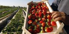 La cueillette des fraises va démarrer dans le sud de la France, et les exploitants agricoles manquent de main d'oeuvre.