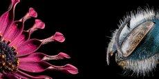 Osmia marque ses insectes et les équipe parfois de systèmes radio