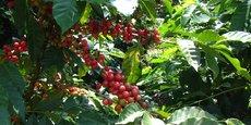Au Kenya, la filière cacao est dominée à 70% par les petits fermiers.