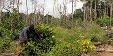 En Côte d'Ivoire, la Société de développement des forêts (SODEFOR) mène des actions de lutte contre la déforestation anarchique, comme ici, après la destruction en mai 2016 d'une plantation de cacaoyers à Guiglo, dans la région de Cavally à quelque 600 km à l'ouest de la capitale, Abidjan.