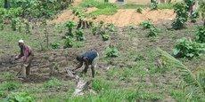 Au Togo, l'agriculture représente 38% du PIB, 15% dans les exportations et emploie 65% de la population.