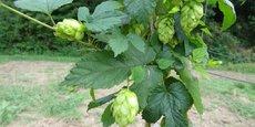Il n'y a pas que dans les Hauts-de-France ou en Alsace que l'on produit du houblon. Plusieurs houblonnières ont en effet vu le jour en Auvergne-Rhône-Alpes.