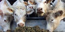 Les vaches de normandie victimes des sanctions contre l'iran