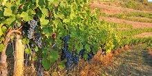 Vignes de la région Occitanie
