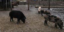 Elevage de cochons en Chine