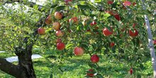 Fruits verger pomme