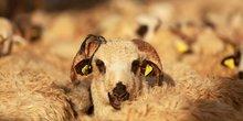 Mouton bétail troupeau