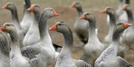 La zone de restriction de grippe aviaire couvre huit departements