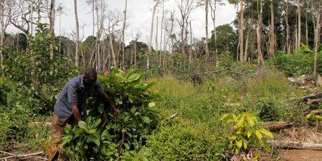 deforestation forêt C?te d'Ivoire Cacao