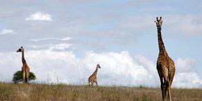 Les girafes sont désormais une espèce menacée