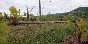 Dans le Rhône, les frères Giroud exploitent 60 hectares, dont une trentaine d'hectares de vigne. L'expert est passé il y a quinze jours, on a 40% de pertes en Gamay et 70% sur les blancs. Il devra ensuite repasser au moment de la récolte pour confirmer ces chiffres. Un long processus.