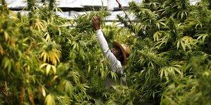 Un travailleur récolte des plants de cannabis dans une plantation au nord de l'Israël à Nazareth le 28 mai 2013