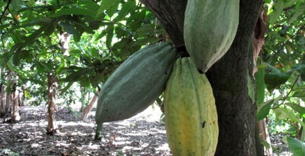 cacao cacaoyer