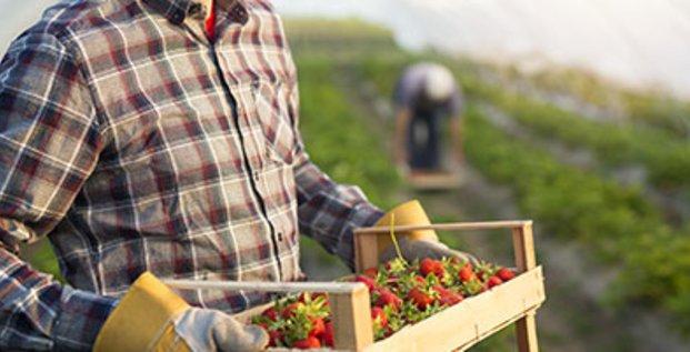 Producteur de fraise