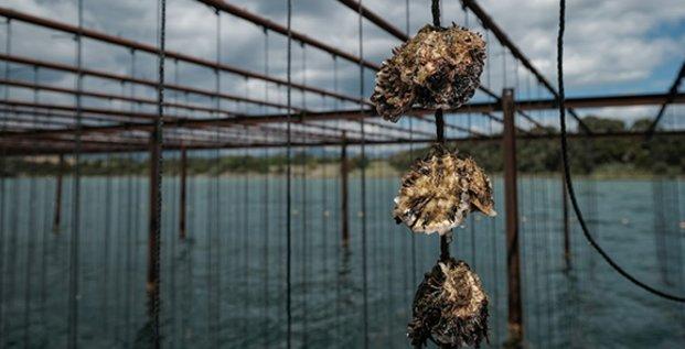 Conchyliculture : l'élevage sur cordes et sur tables des huitres et moules