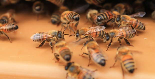 abeilles chryso