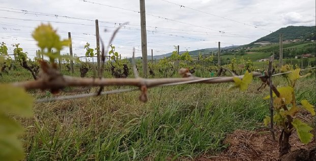 gel vigne et arboriculture