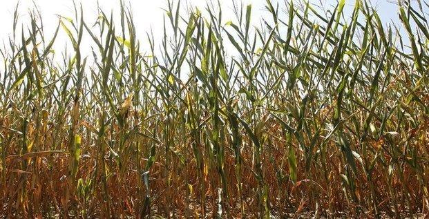 L'arrêté interdisant le maïs Monsanto 810 maintenu