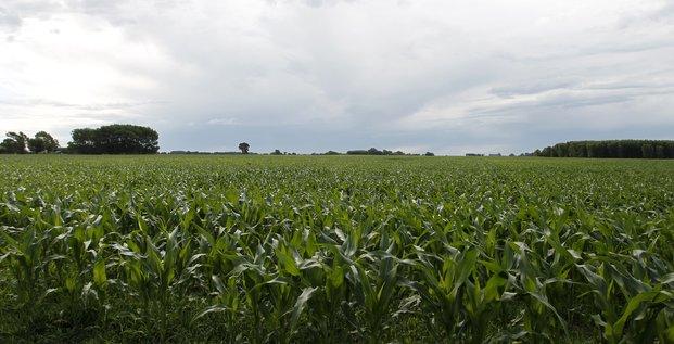 Champ de maïs en Argentine