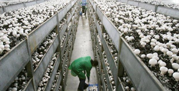 La champignonnière Vialade produira dans un premier temps 1 500 tonnes de champignons de Paris cultivés hors sol.