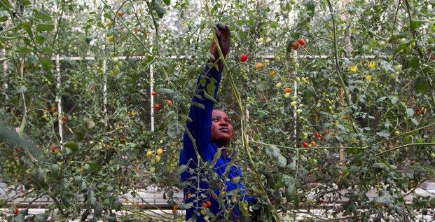 Agriculture serre tomate travailleur saisonnier agricole