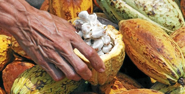 Jose Gregorio Gonzalez, a small producer of cocoa, shows an open cocoa fruit in his farm near Puerto Cabello, about 180 km (115 miles) west of Caracas, May 15, 2008. Venezuela was once the world's biggest cocoa producer - wealthy individuals are still mockingly dubbed 'gran cacaos' (Big Cocoas) - bu
