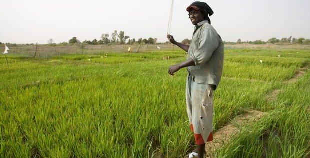 Riz Sénégal agriculture