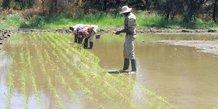 platation riz namibie