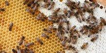 Interdiction de cinq pesticides tueurs d'abeilles