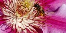 abeille, fleur,
