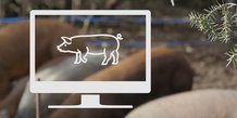 La plateforme Pig's Daddy permet d'acheter en ligne des parts dans un cochon élevé de façon responsable